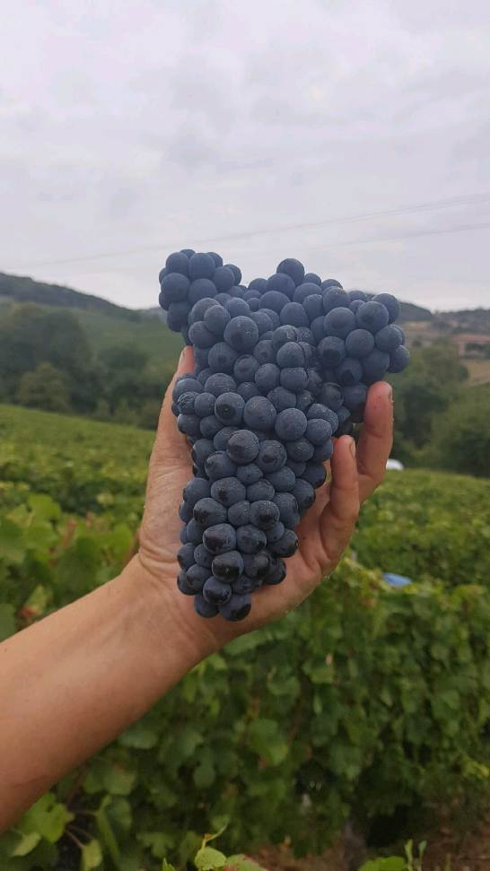 VENDANGES BARRAUD.jpg